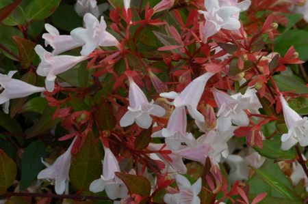 Abelia x grandiflora